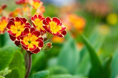 Çuha Çiçeğinin Faydaları