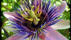 Passifloranın Faydaları