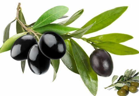 zeytin-yapragi