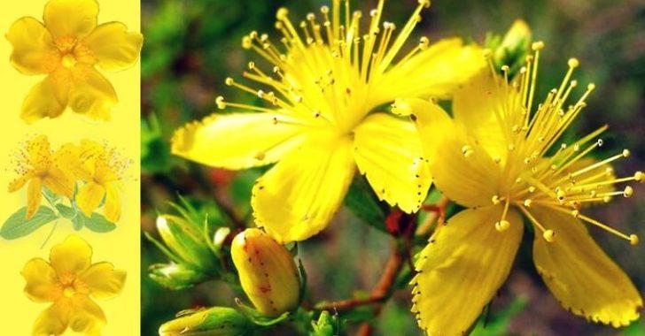 Sarı Kantaronun Faydaları