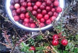 cranberry faydasi