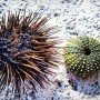 Deniz kestanesinin faydaları