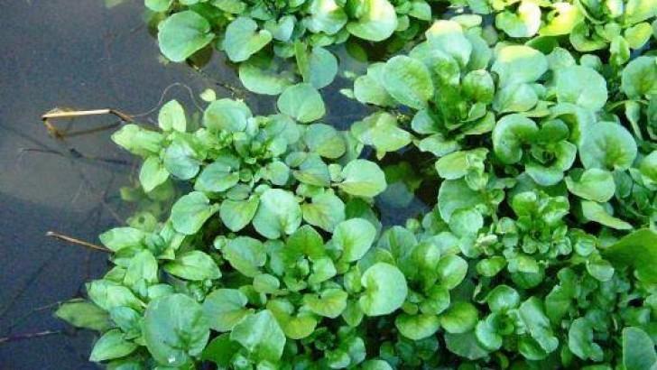 Çayır su teresi bitkisinin faydaları