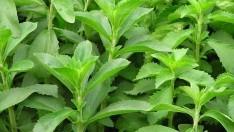 Stevia Bitkisi Faydaları