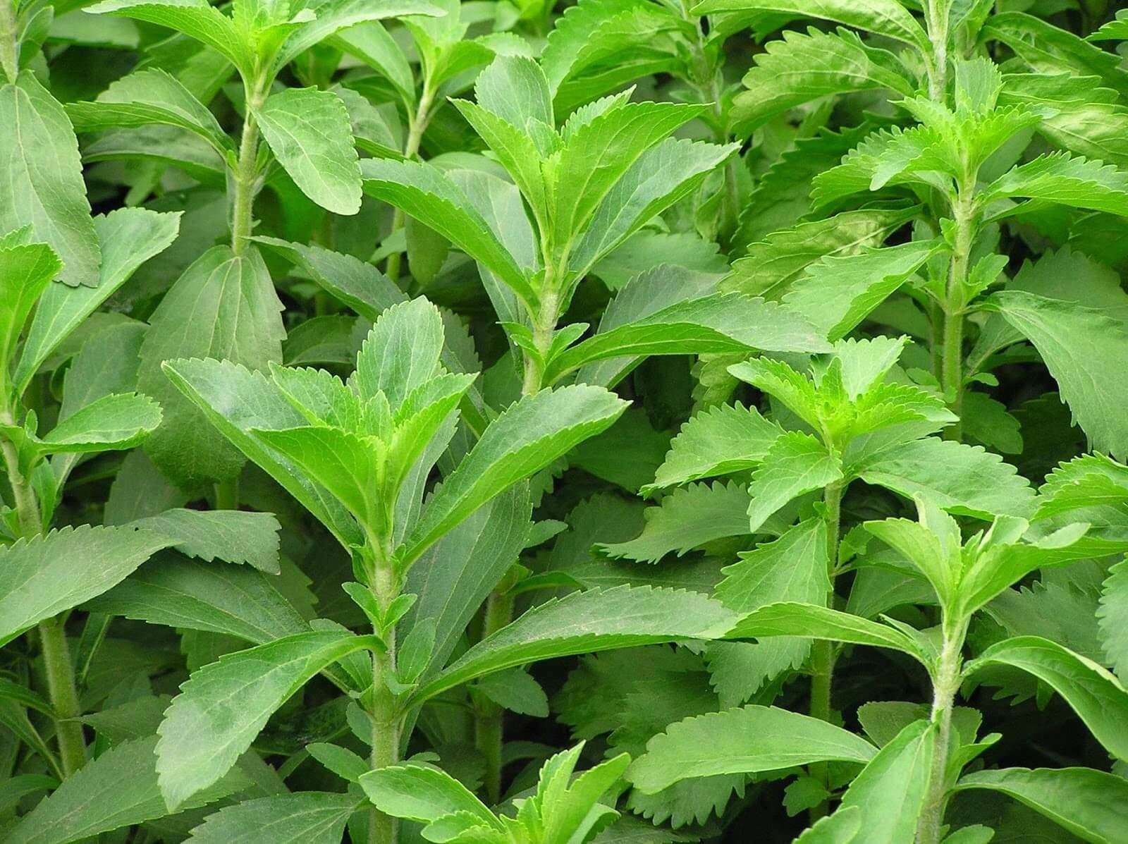 Stevia Bitkisi Faydalari