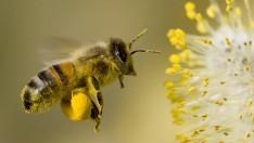 Arı Sokmasının Faydaları