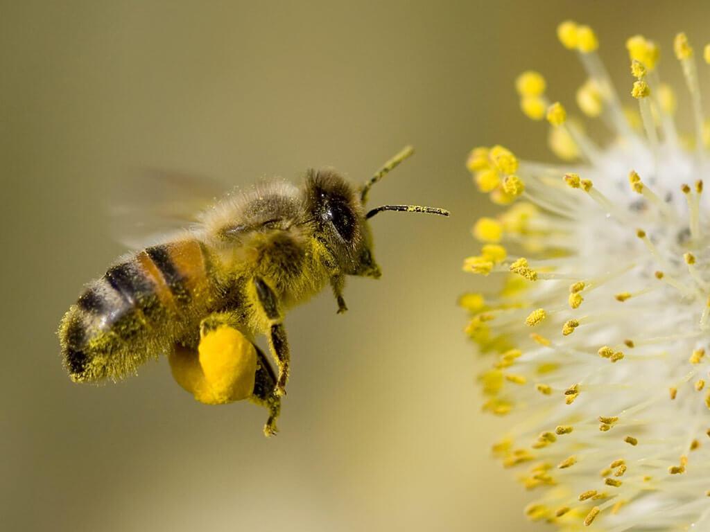 Arı Sokmasına Karşı Ne Yapılmalı: Arı Sokması Bitkisel Tedavi