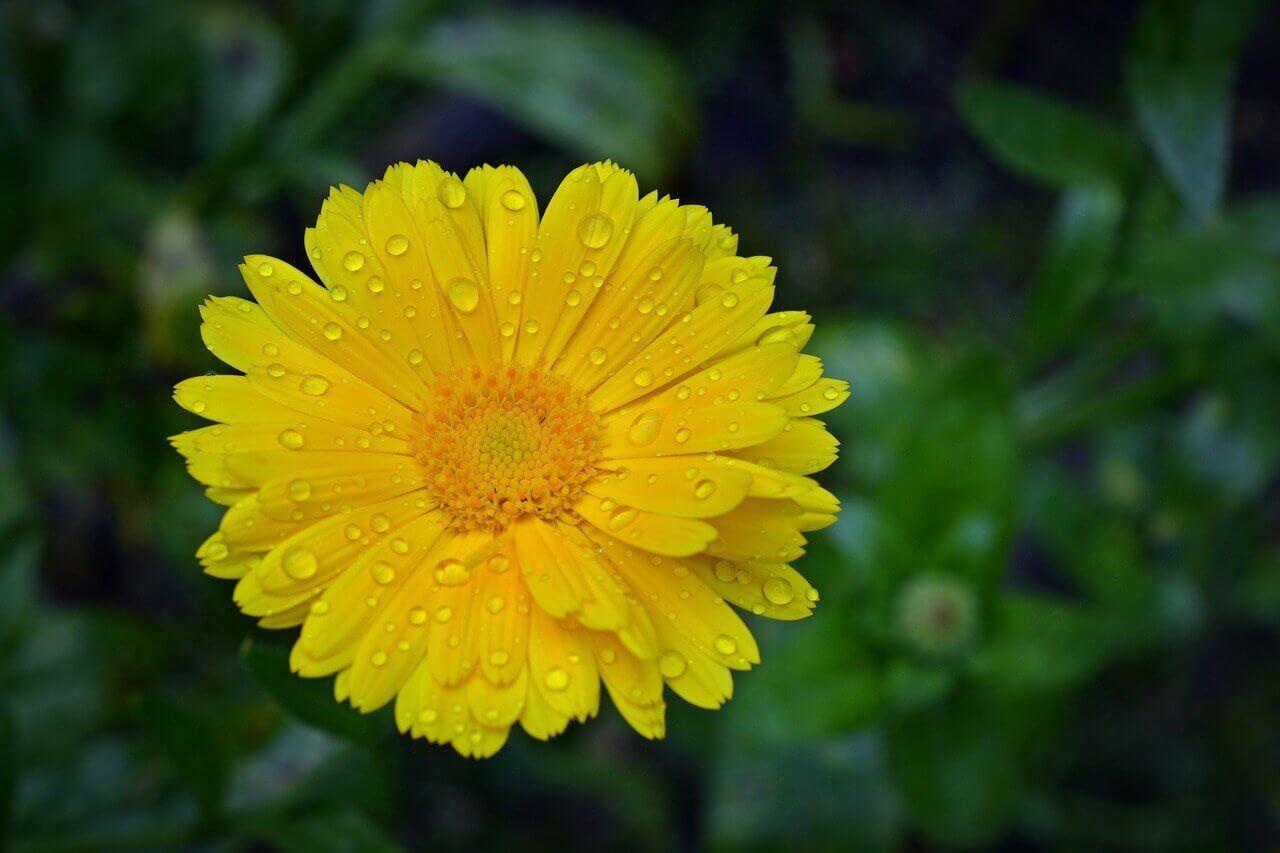 aynisefa bitkisinin faydalari