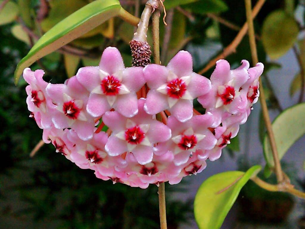 Mum Çiçeği Bakımı ve Faydaları