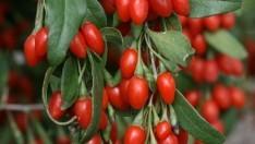 Goji Berry Nedir, Goji Berry' nin Faydaları Nelerdir?