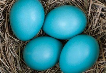 mavi-yumurta