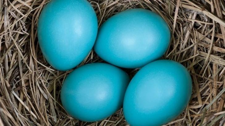 mavi yumurtanın faydaları