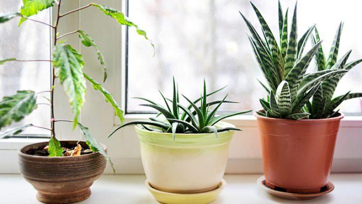 Zihinsel Sağlığınız İçin Faydalı 5 Ev Bitkisi